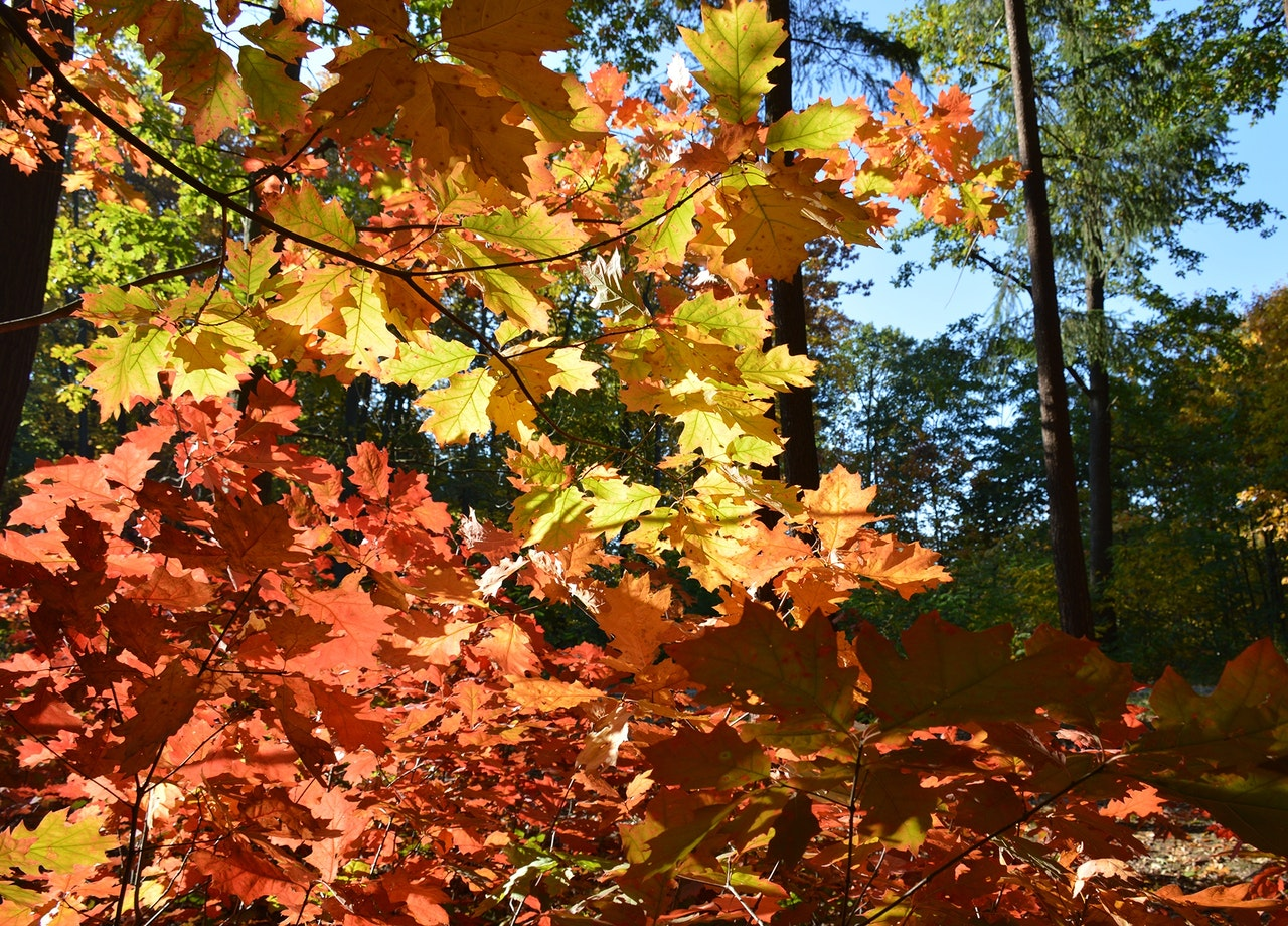 Red Oak Leaves In Forest
