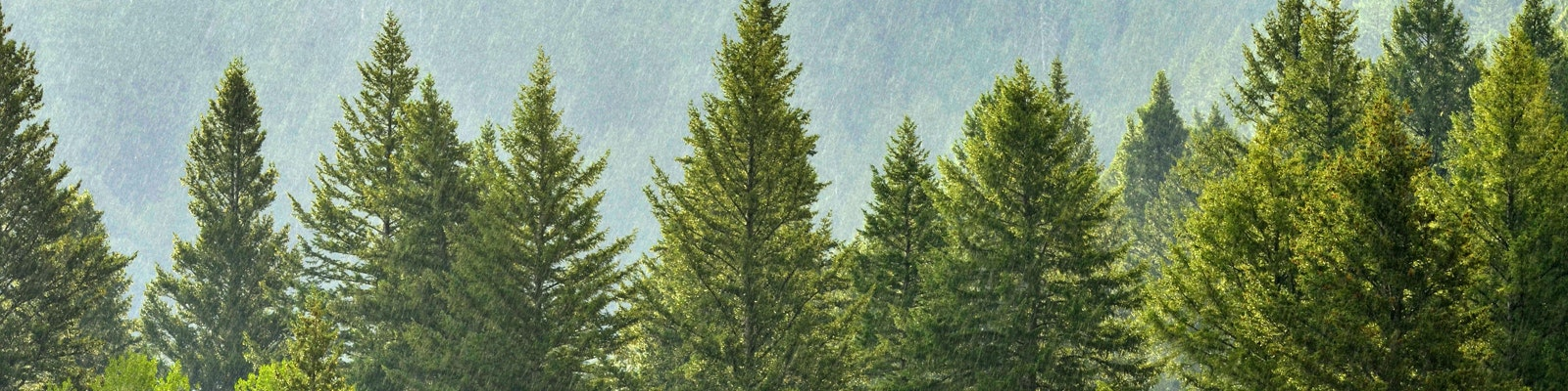 Canopy of conifer trees